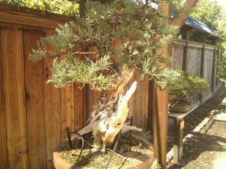 bonsai photo 1