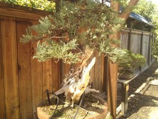 bonsai photo 1