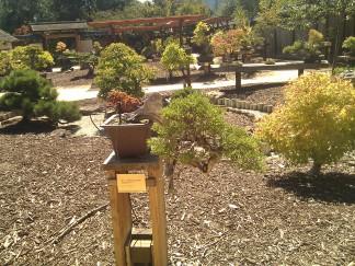 bonsai photo 4