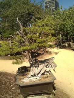 bonsai photo 8