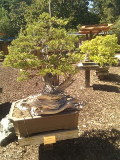 bonsai photo 7